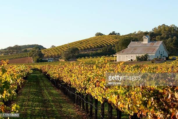 autumn vineyard - napa california stock photos and pictures