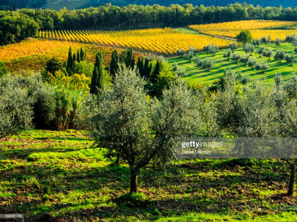 Autumn Vineyard Rows With Bright Color Chianti Tuscany Italy Stock