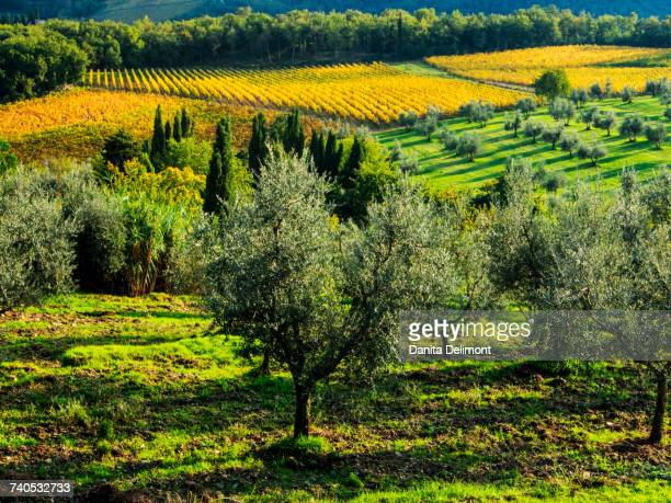 autumn vineyard rows with bright color, chianti, tuscany, italy - olive orchard stock photos and pictures