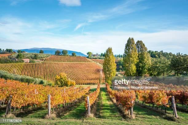 autumn vineyards in umbria, italy. sagrantino di montefalco vines - モンテファルコ ストックフォトと画像