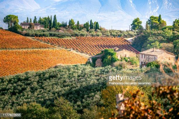 autumn vineyards in umbria, italy. sagrantino di montefalco vines - umbria stock pictures, royalty-free photos & images