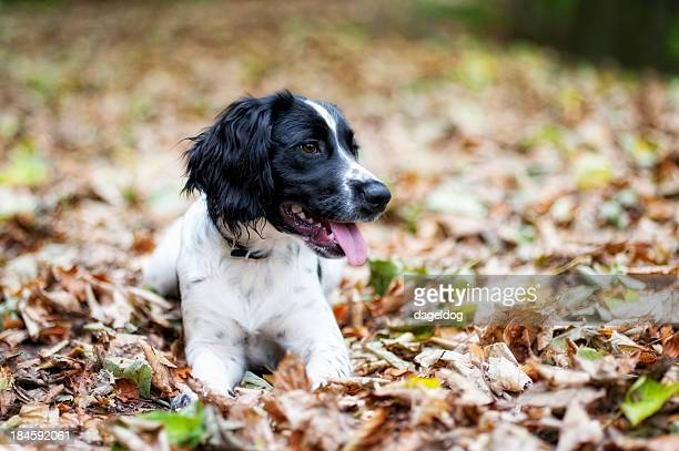 autumn walk - springer spaniel stock pictures, royalty-free photos & images