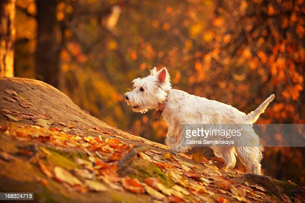autumn westie - west highland white terrier stock photos and pictures