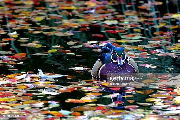autumn wood duck pond reflection - duck bird stock pictures, royalty-free photos & images