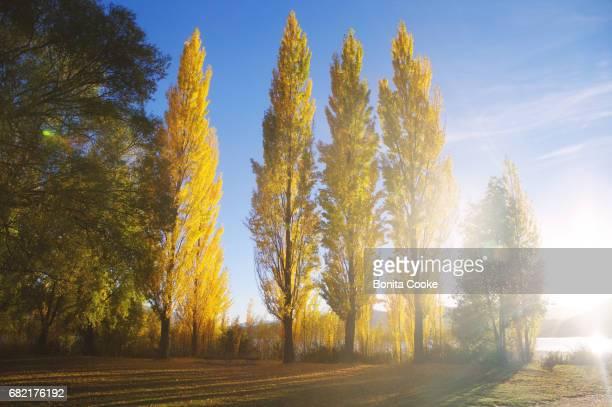 Autumn yellow leaf poplar trees near the shoreline of Glendhu Bay, Lake Wanaka