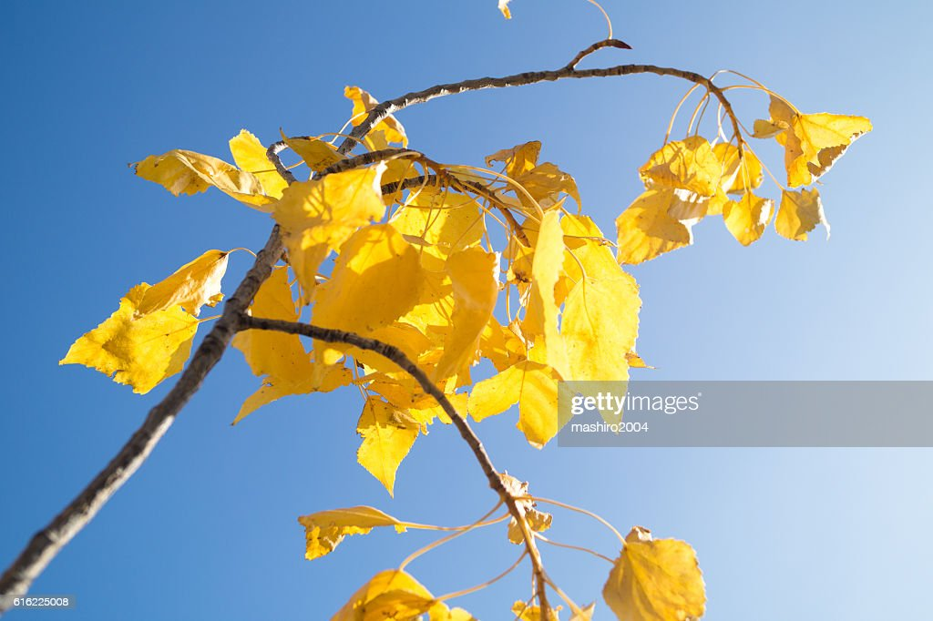 autumn yellow leaves in the blue sky : Stock Photo