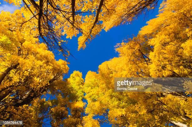 autumn yellow poplar trees, looking up against the blue sunny sky, along the shore of lake wanaka - lago wanaka - fotografias e filmes do acervo