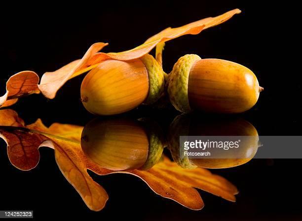 autumnal, acorns, autumn-like, autumn, alfred, acorn