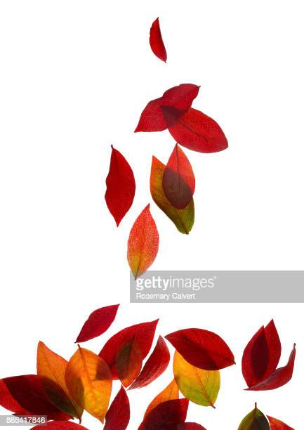 Autumnal blueberry leaves falling in pile, on white.