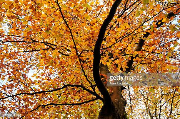 Autumnal canopy,Jersey.