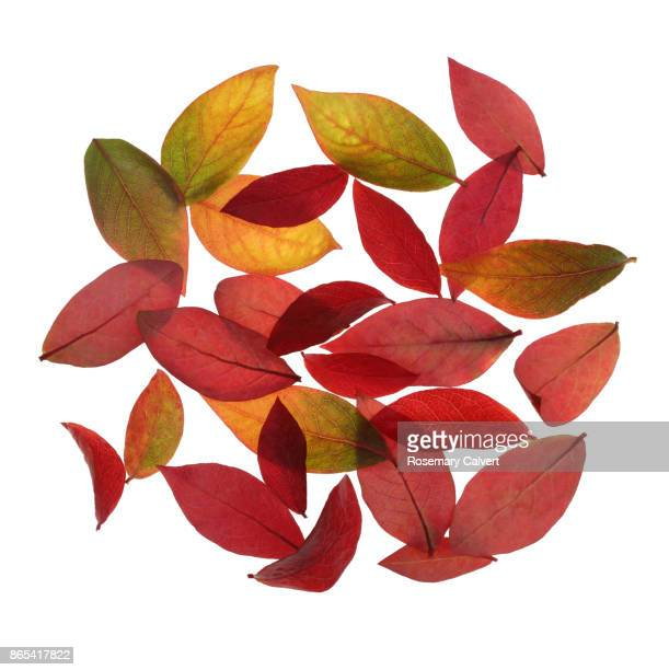 Autumnal design with blueberry leaves in square.