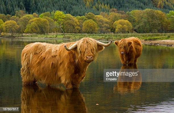 autumnal dip. - highland cattle stock photos and pictures