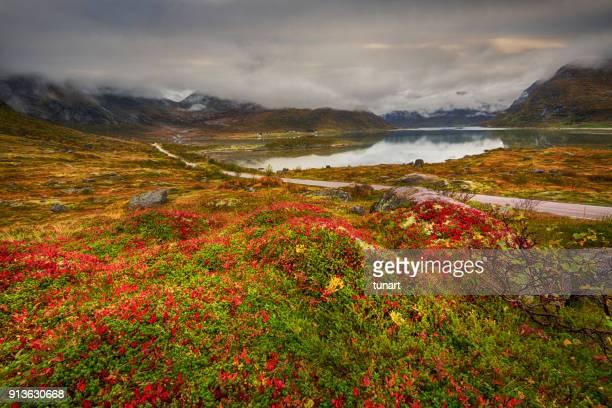 herfst flora en landschap in lofoten, noorwegen - noorwegen stockfoto's en -beelden
