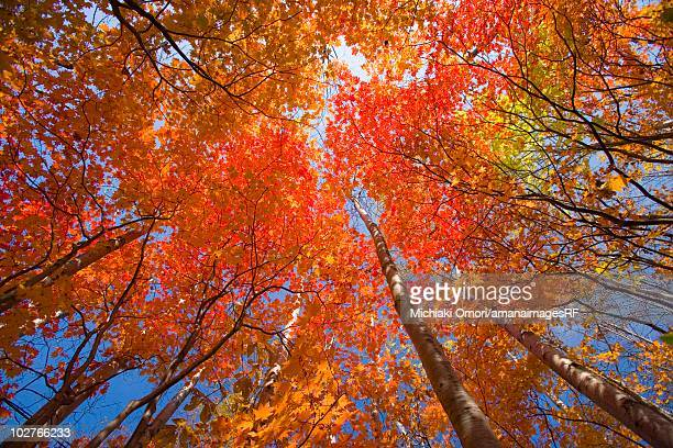 Autumnal fullmoon maple trees. Hachimantai, Iwate Prefecture, Japan