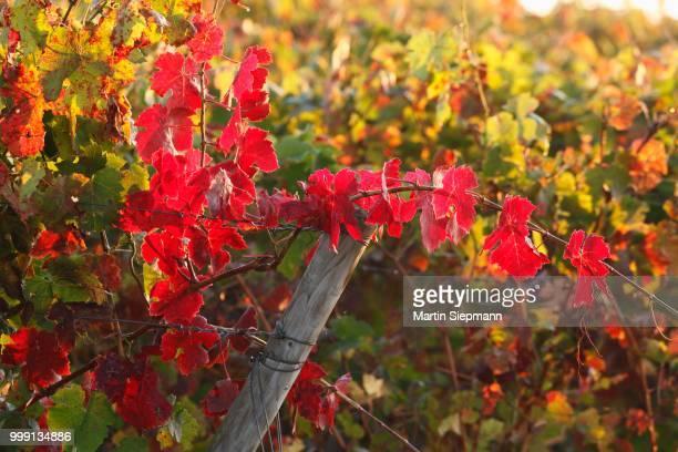 Autumnal grapevines, Wipfelder Zehntgraf vineyard, Wipfeld, Lower Franconia, Franconia, Bavaria, Germany