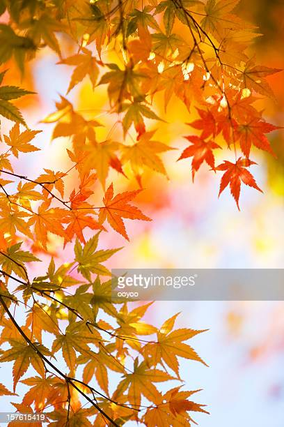 Autumnal Japanese Maple Leaves