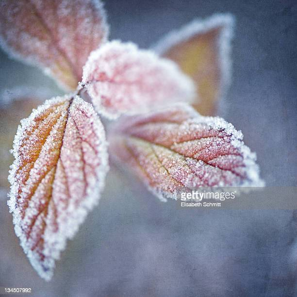 Autumnal leaves covered with frozen ice crystals