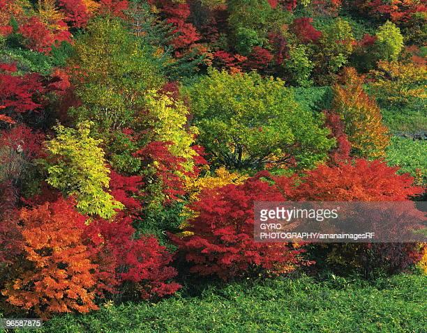 autumnal leaves, hachimantai, iwate prefecture, japan - 八幡平市 ストックフォトと画像