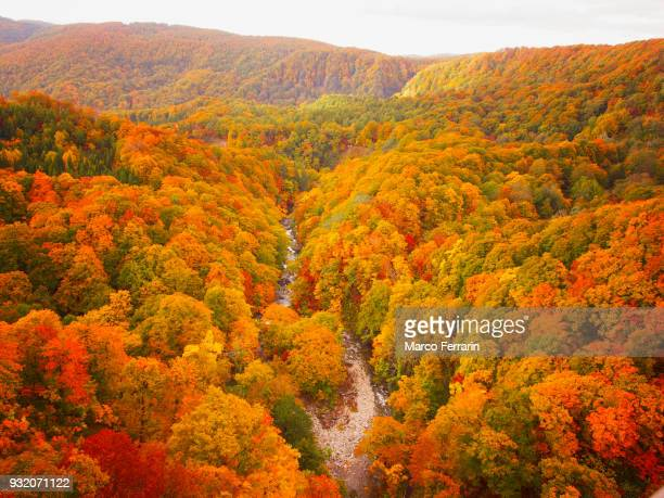 autumnal leaves of beech and maple, aerial view of national park in northern japan - 紅葉 ストックフォトと画像