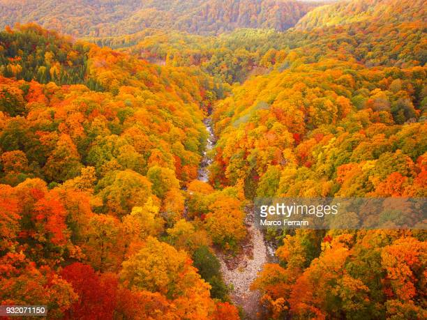 autumnal leaves of beech and maple, aerial view of national park in northern japan - deciduous tree stock pictures, royalty-free photos & images