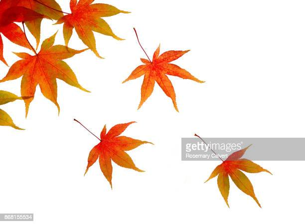 Autumnal maple leaves floating across white.