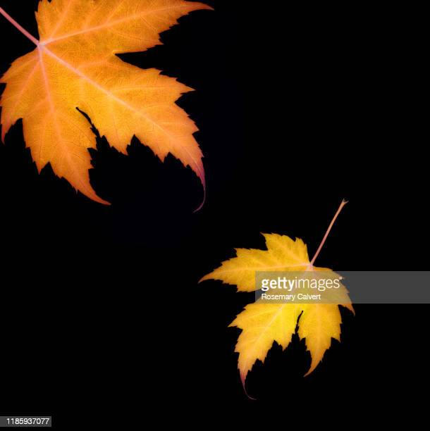 part orange maple leaf entire yellow