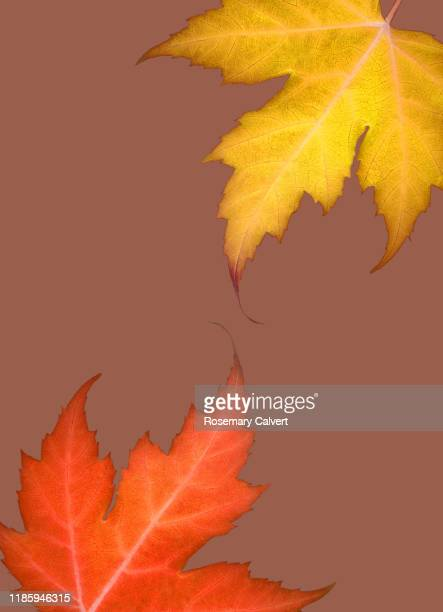 part yellow orange maple leaf caramel
