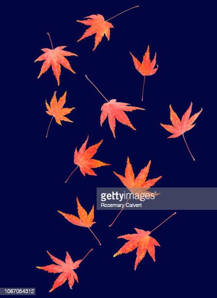 autumnal maple leaves tumble across midnight blue - november background stock photos and pictures