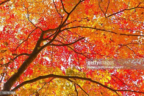 Autumnal maple trees. Aomori Prefecture, Japan