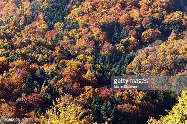 Autumnal mixed forest, town of Weissenkirchen in der Wachau, Waldviertel region, Lower Austria, Europe