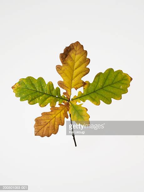 autumnal oak leaves - foglia di quercia foto e immagini stock