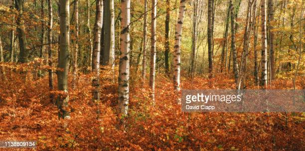 autumnal trees in the lake district, cumbria, united kingdom - forest stock pictures, royalty-free photos & images