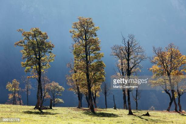 Autumnal trees, sycamore maple (Acer pseudoplatanus), Grosser Ahornboden, pasture with maple trees, Eng-Tal valley, Risstal, Karwendel Mountains, Tyrol, Austria, Germany
