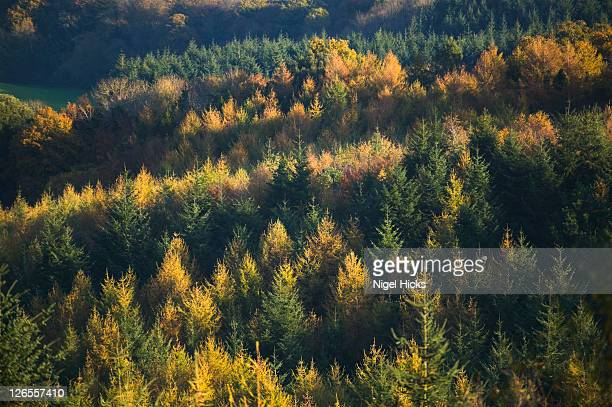 autumnal view of a larch and spruce plantation near dawlish, seen from the obelisk viewpoint, nr mamhead, devon, great britain. - biodiversity stock pictures, royalty-free photos & images