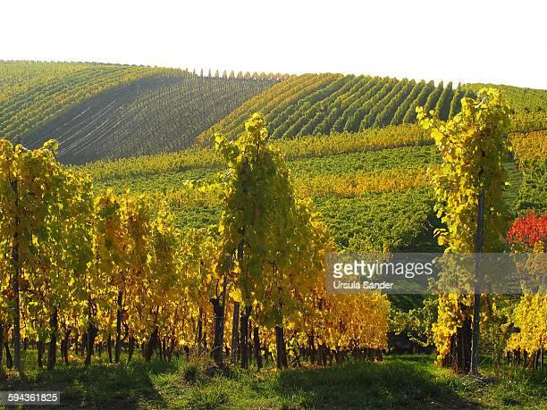 Autumnal vineyard, Stuttgart, Germany