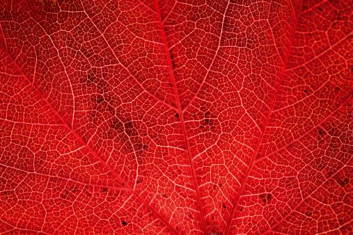 Autumnal virginia creeper leafs - gettyimageskorea