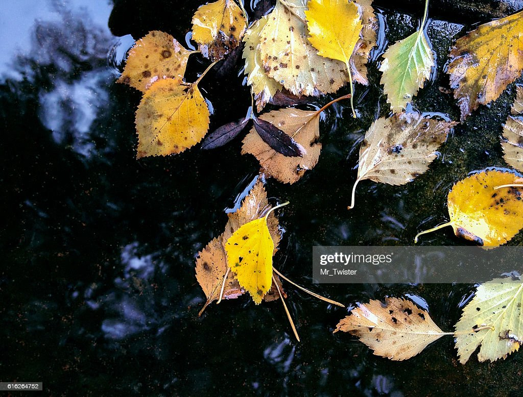 autumnal yellow leaves floating in puddle after rain : Stock Photo