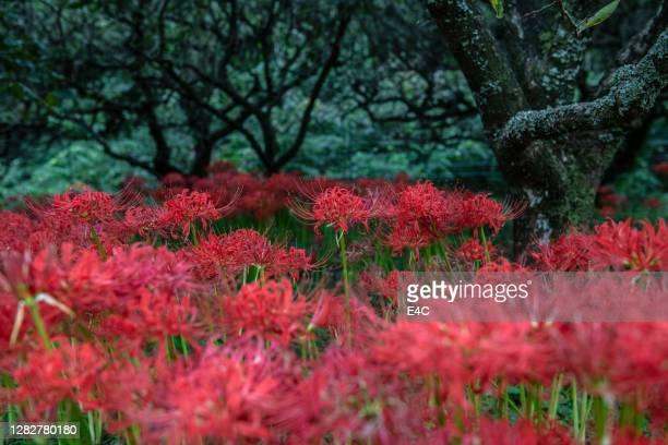 gigli di ragno rosso in autunno ad atsugi, giappone - topix 1getty marketing term foto e immagini stock
