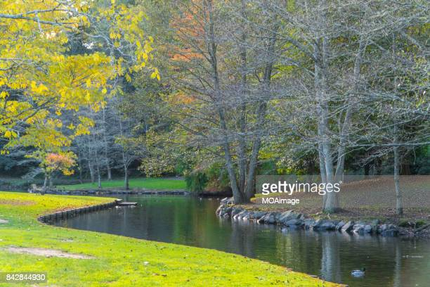 Autumn,Wild ducks in the lake,Cambridge,North Island,NewZealand