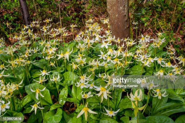 Avalanche lily flowers in spring time in the Arboretum in Seattle, Washington State, USA.