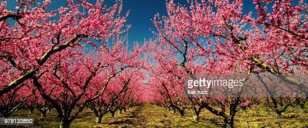 avant le coiffeur - peach flower stock pictures, royalty-free photos & images