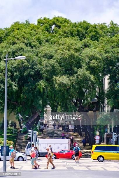 """avenida zarco com árvores pendendo no funchal, na ilha da madeira, durante um belo dia de verão - """"sjoerd van der wal"""" or """"sjo"""" - fotografias e filmes do acervo"""