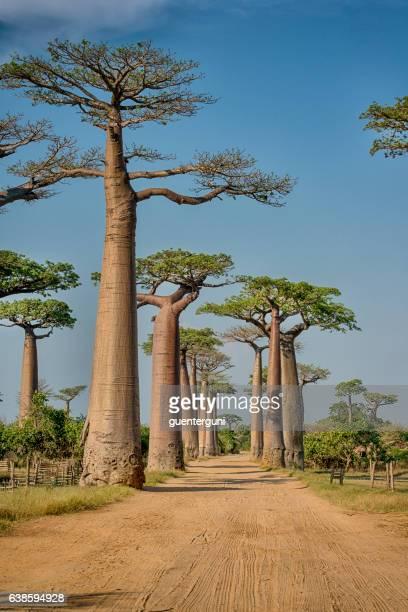 Avenue de Baobab à Madagascar,