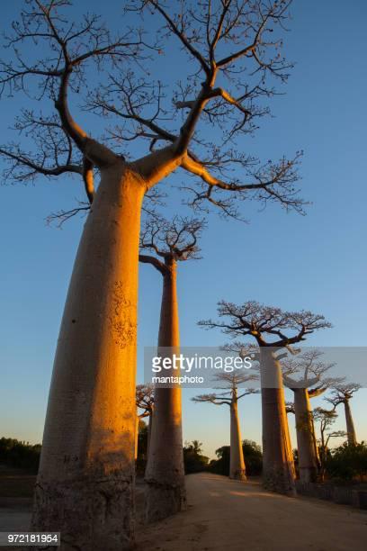 avenida de baobab, madagascar - madagascar fotografías e imágenes de stock