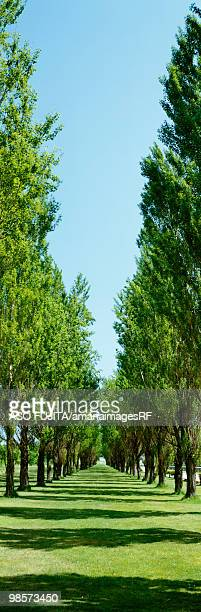 Avenue line with poplar trees, Sapporo, Hokkaido, Japan