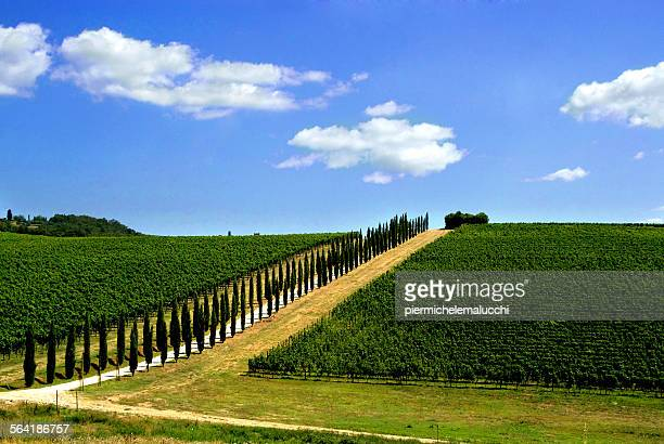 Avenue lined with cypress trees by a Tuscan vineyard, Italy