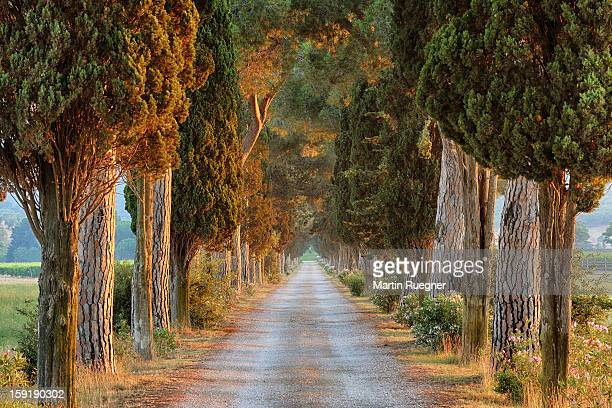 Avenue (track) lined with pine trees, sunrise.