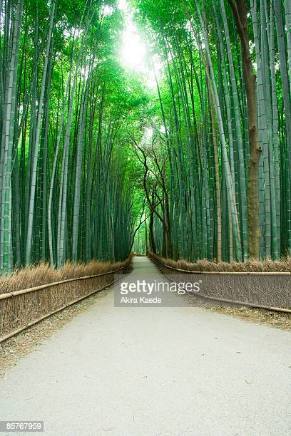 Avenue of Bamboo grove