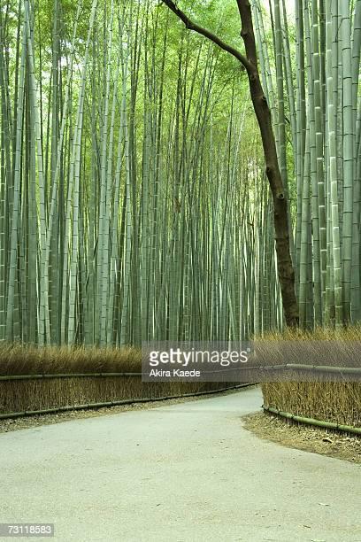 Avenue of Bamboo trees (Phyllostachys Bambusoides)
