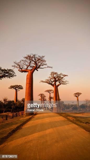 avenue of baobabs - madagascar fotografías e imágenes de stock